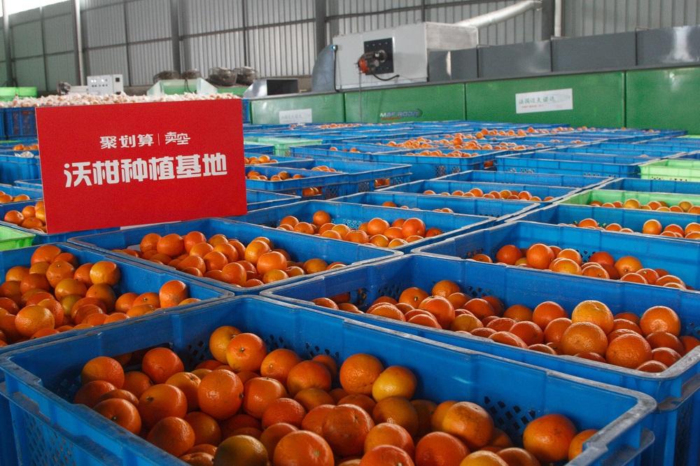 聚划算聯手國內頂級沃柑供應商,爲中國國消費者帶來美味的同時,也創下了快速賣空4000畝頂級沃柑基地的營銷紀錄。