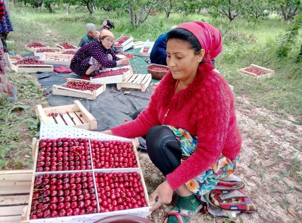 烏茲別克的農民以人工方式採摘車厘子,以確保果形口感。