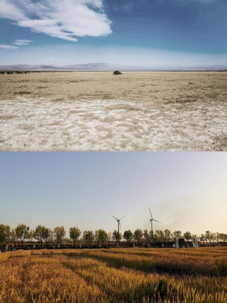 由「雜交水稻之父」袁隆平研發、適合內陸半荒漠地區生長的稻米「海水稻」,將會引入到今年天貓雙11的活動之中。
