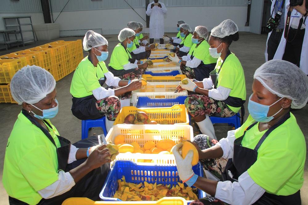 因應中國消費者對芒果乾的需求旺盛,帶旺了烏干達的芒果種植及芒果乾生產工作。