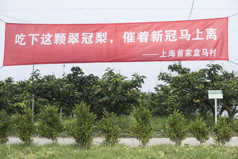 上海市崇明區翠冠梨數字農業基地,成為上海首個盒馬村,將農產品接入盒馬遍佈中國的供應鏈網絡和銷售渠道。