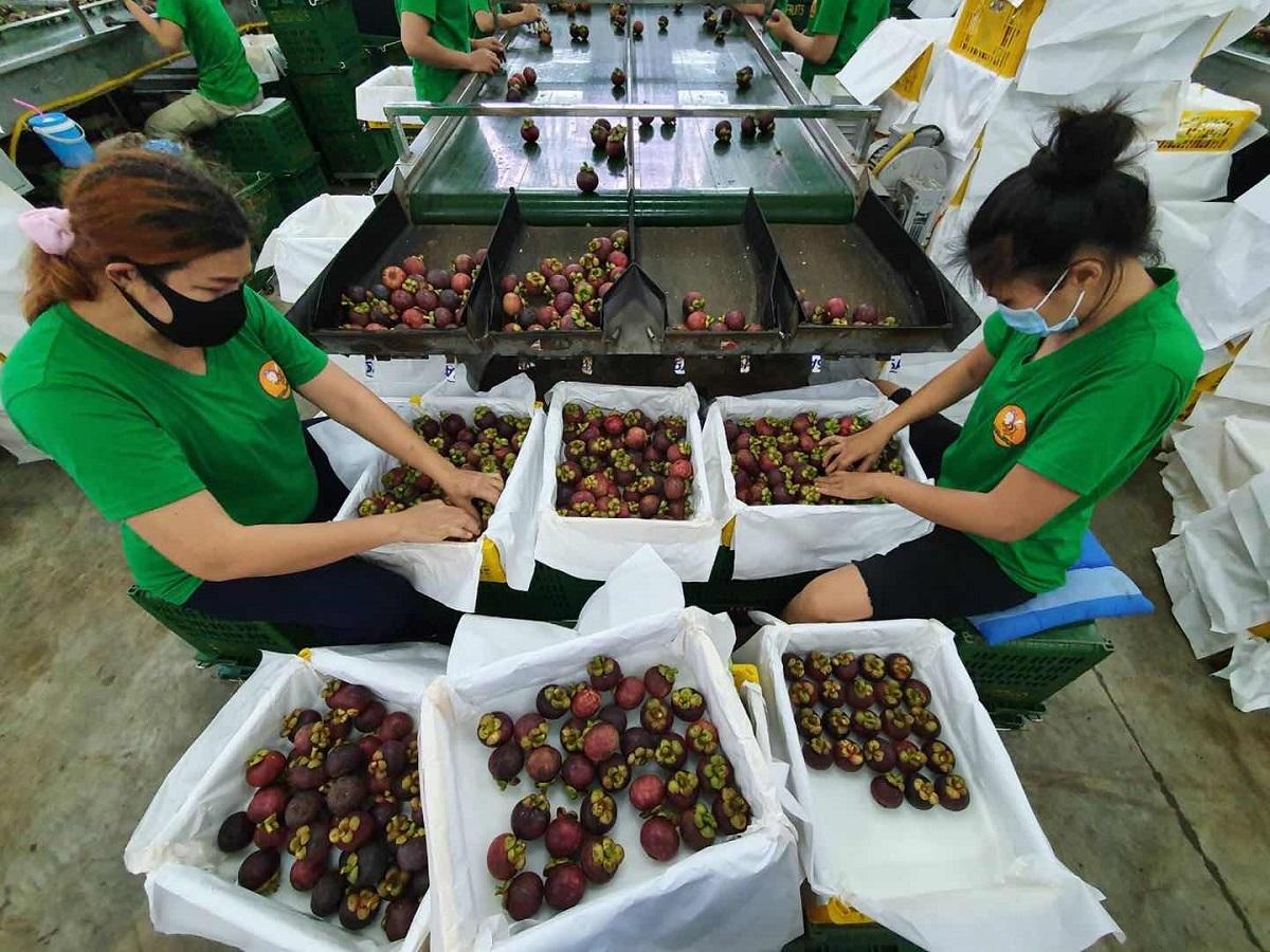 為了趕上今年天貓618,泰國農場及工廠過去數周加緊人手安排,挑選合適的山竹出口。