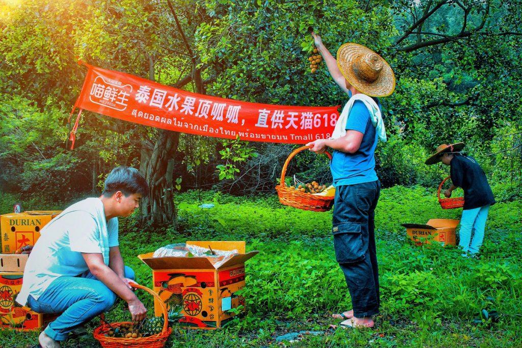 泰國果農在泰國果園採摘龍眼等時令水果,透過今年5月開通的水果進境專線列車,更快捷地送往中國消費者的餐桌上。